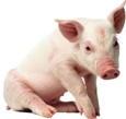A picture named piggie.jpg