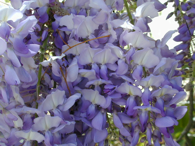 Wisteria in prime: Can it get any more gorgeous??